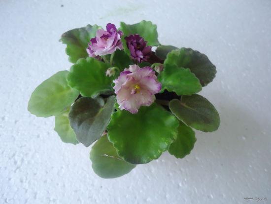 Фиалка ле -фарфоровая роза мини