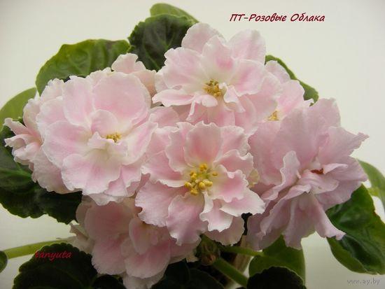 Фиалка ПТ-Розовые Облака (пасынок)