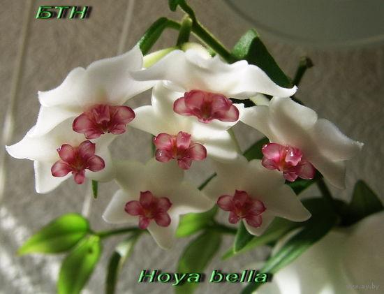 Хойя  Hoya bella