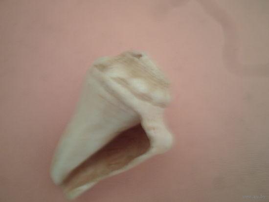 Белая ракушка из океана (70 годы), размером с ладонь