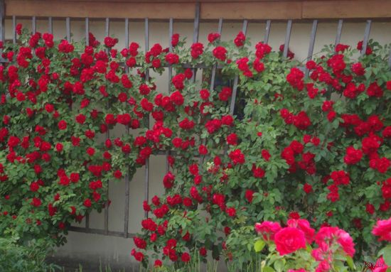 Роза плетистая красно - малиновая взрослое растение