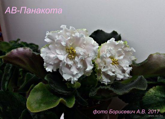 Фиалка АВ-Панакота (детка фото в лоте)