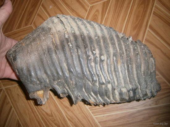 Зуб хазарского степного трогонтериевого слона (южного мамонта) 300 000 лет