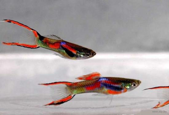Аквариумные рыбки Гуппи Эндлера